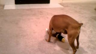 Miniature Doberman Making Love To His Duck.