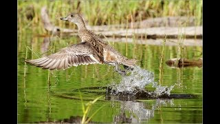 Утренняя охота с подсадными утками осень 2017 duck hunting