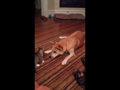 Carolina dog playing with a kitten