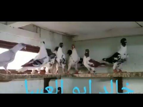 الحمام السوري في الأردن الله يباركلك خالد أبو العسل