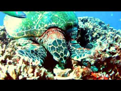 Philippines – Hawksbill turtle feeding on corals on Apo Island