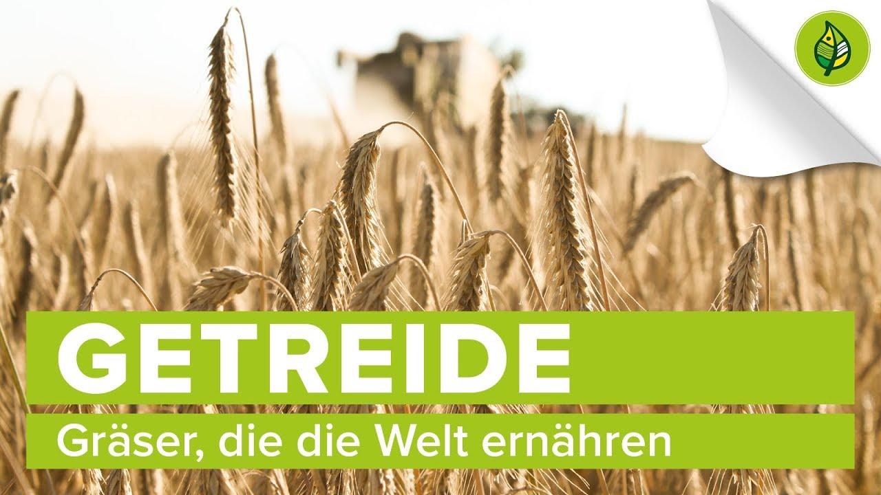 Download Getreide: Gräser, die die Welt ernähren