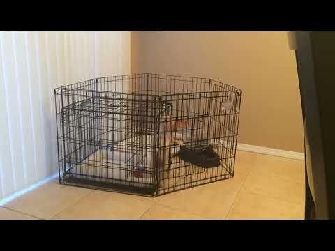 Olive the Cavachon: Puppy Escape Artist