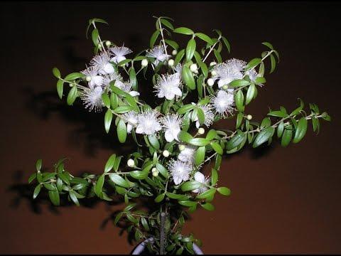 комнатный цветок мирт фото уход