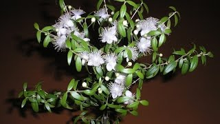 Мирт комнатный – дерево мира и радости. Содержание и уход в домашних условиях