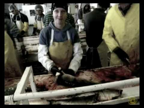 Alaska Seafood Daily Job - Processing Line Of Salmon (Heading, Gutting, Cleaning, Racking)