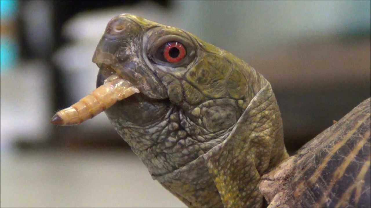 Baby Turtle Eating a Raspberry  YouTube
