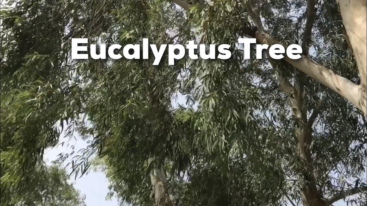 eucalyptus tree youtube