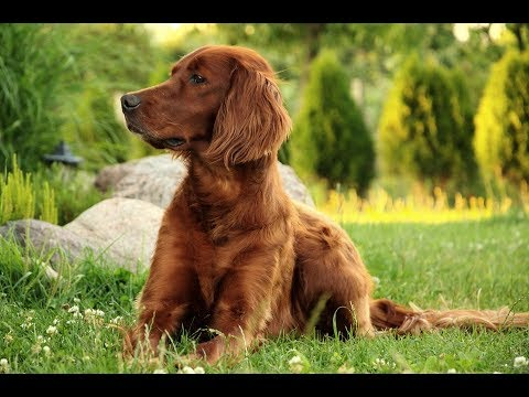 Irish Setter / Dog Breed