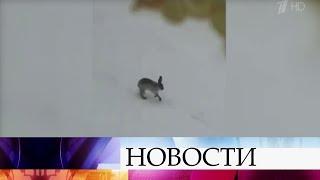 Во дворах на окраинах Москвы появились зайцы.