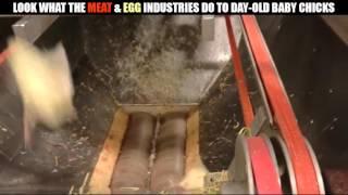 看看雞蛋和肉類工業,對小雞做了甚麼? thumbnail