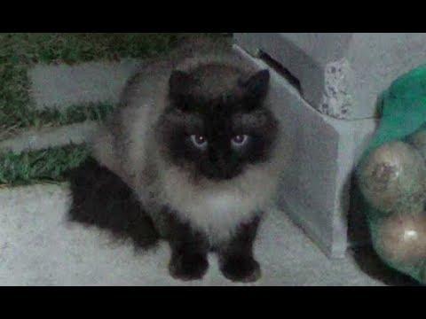 【あの大きなタヌキ猫が数年ぶりに我が家にやって来た】A raccoon-like cat appeared for the first time in several years.