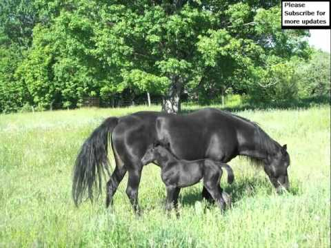 Lippitt Morgan Horse | Horse Picture Collection