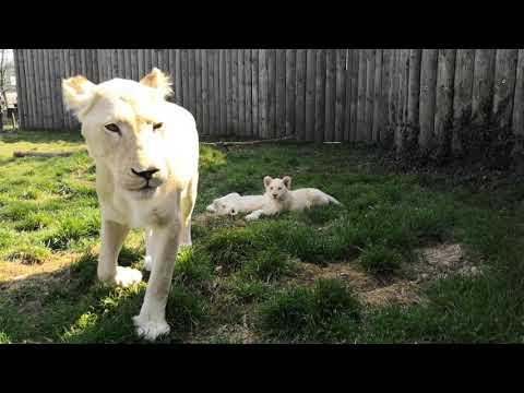 ZOO Hodonín, bílí lvi