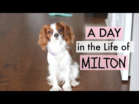 A Day in my Life  - Puppy Milton | Cavalier King Charles Spaniel | Herky the Cavalier