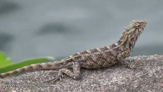 Lizard At The Edge Of The Lake
