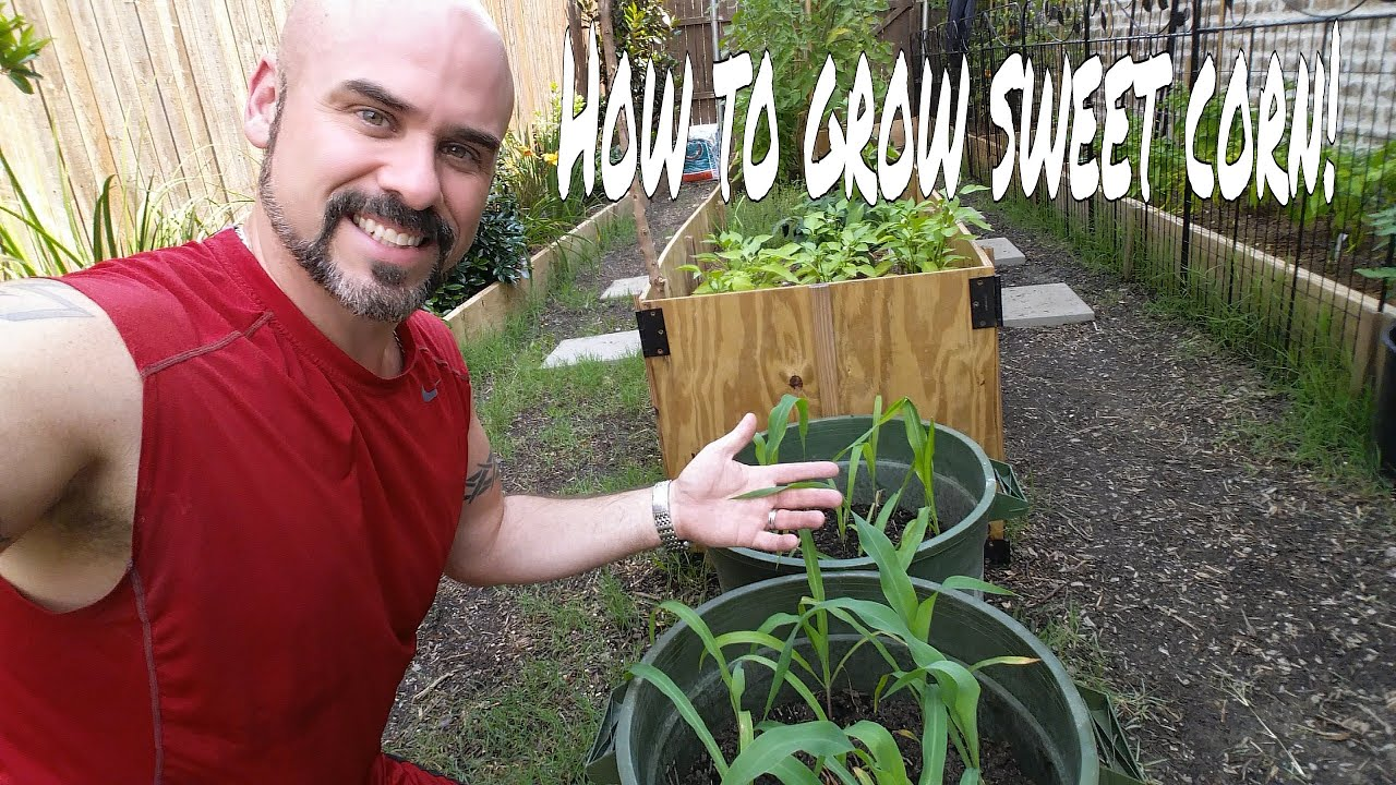 growing sweet corn in containers episode 3 youtube