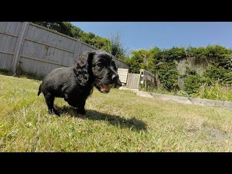 Puppy Surprise!! Working Cocker Spaniel puppy Vs 13yr Old girl