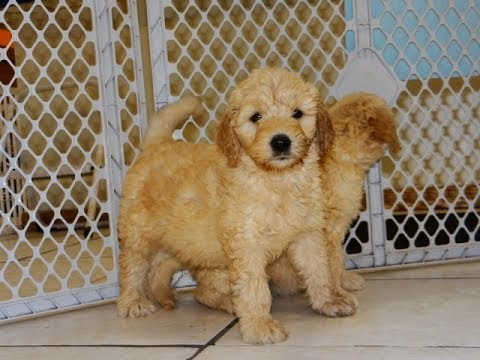 Goldendoodle Puppies Dogs For Sale In Memphis Tennessee Tn