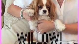 The Furry Friend Tag! Cavalier King Charles Spaniel! Style By Dani