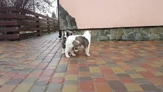 Наши щенки Алабая ( купить щенка )