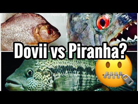Dovii Cichlid vs Piranha? Aquarium Predator Battle