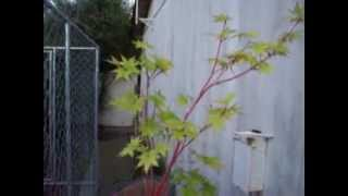 Coral Bark Japanese Maple Bonsai Starter part 1