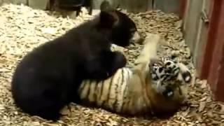 Борьба животных