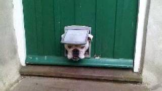 Churchill The Bulldog Sticks His Head Through Cat Flap