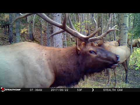 Up Close Elk Bugle with Chuckle