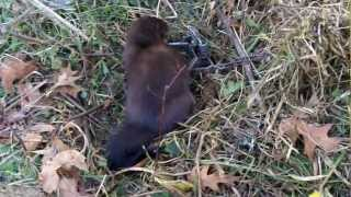 Trapping Mink in a Blind Trail Set