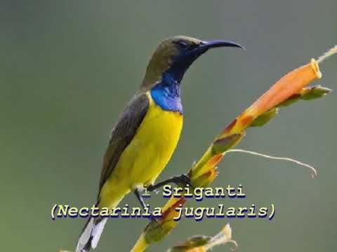 Suara Jenis Jenis Burung Kolibri Youtube