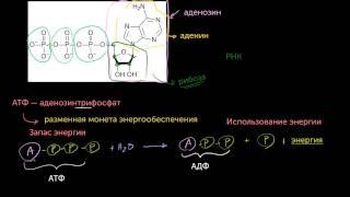 АТФ: Аденозинтрифосфат(видео 10) | Энергия | Биология