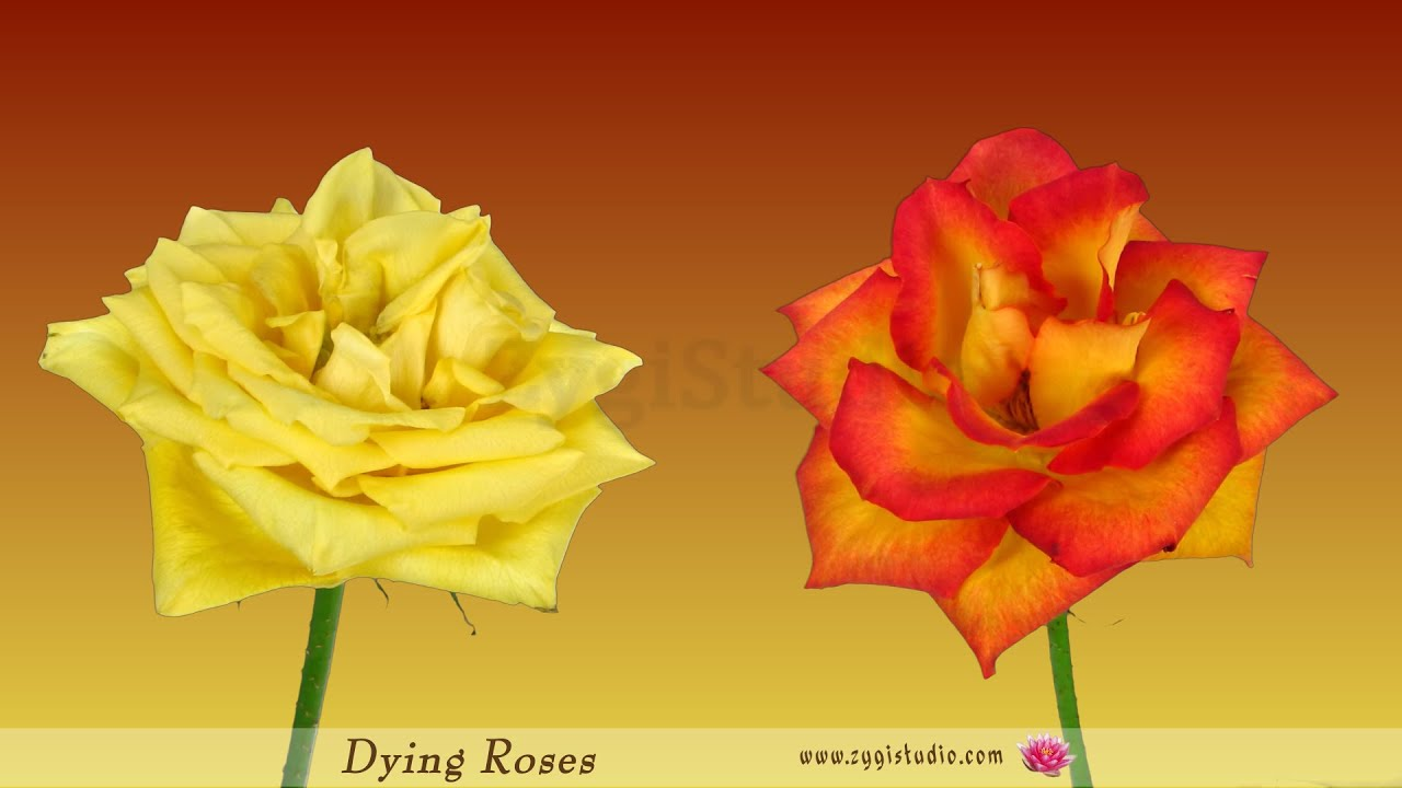 Timelapse Of Dying Yellow And Orange Roses Youtube