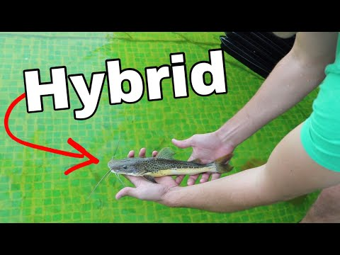Mixing MONSTER FISH!! How to Make a HYBRID FISH
