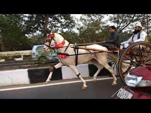 Delhi tanga race nukhra horse of ustad Raees