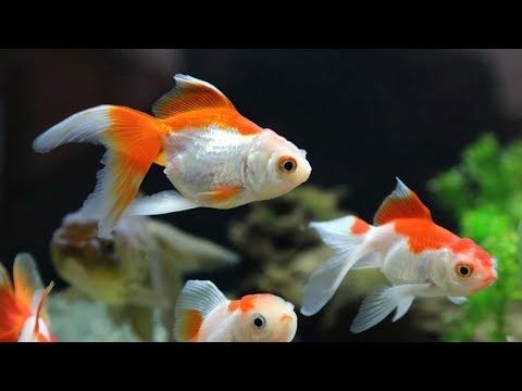 Goldfish Varieties And Colors | Top Ten Colors Of Goldfish