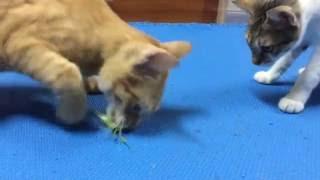 橘太戰螳螂 Cat and Mantis