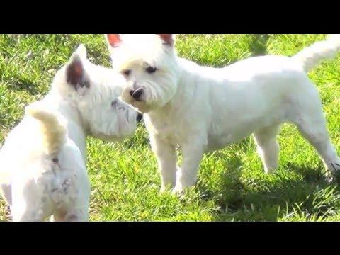 White Dogs - Barking, Playing, Walking, Fighting