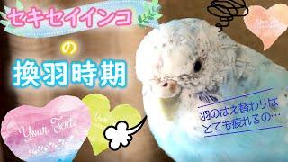 セキセイインコの換羽時期は羽がボサボサで絶不調【vlog-017】Budgerigar thumbnail