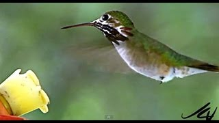 Hummingbirds of British Columbia