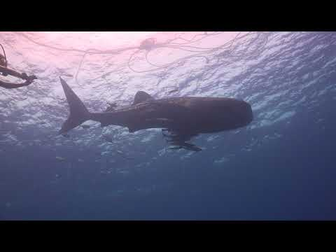 Whale shark at  Sail Rock 15 December 2017 Underwater video