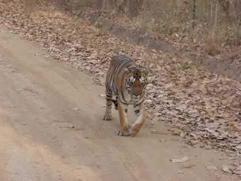 Man eating Tigress stretching her legs in Kahna NP, India