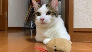 鋭い猫パンチが短い猫