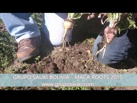 Maca Roots 2015 - Grupo SAUKI Bolivia 3 - HD