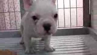 岡山県倉敷市のペットショップ リーマの犬舎で生まれたフレンチブルドッ...