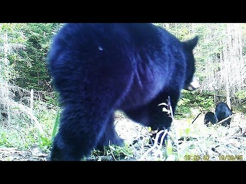 Hidden camera at beaver dam reveals several surprising visitors