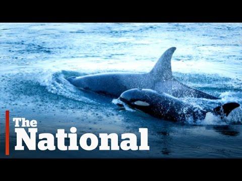 Orca Baby Boom Off Vancouver Island