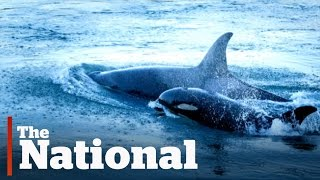 Orca Baby Boom Off Vancouver Island
