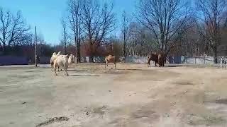 Cyrk ze zwierzętami - wielbłądy